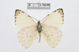 Image of <i>Hesperocharis marchalii</i> (Guérin-Méneville (1844))
