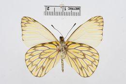Image of <i>Hesperocharis nereina</i> Hopffer 1874