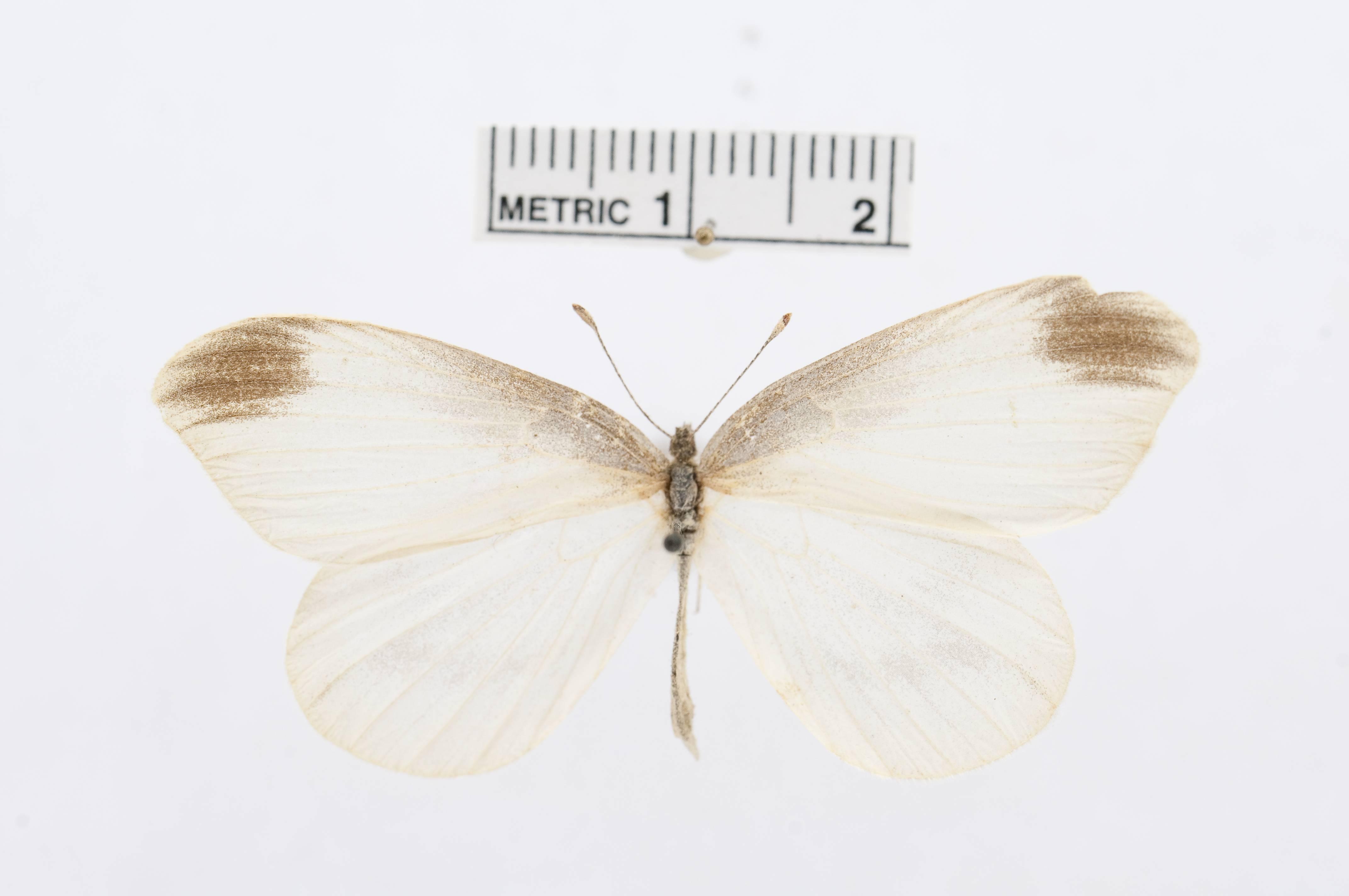 Image of <i>Leptidea gigantea</i> (Leech 1890)