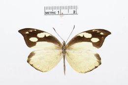 Image of <i>Lieinix nemesis</i> (Latreille (1813))