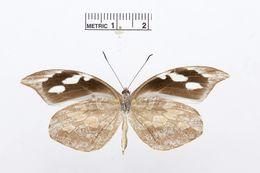 Image of <i>Lieinix viridifascia</i> (Butler 1872)