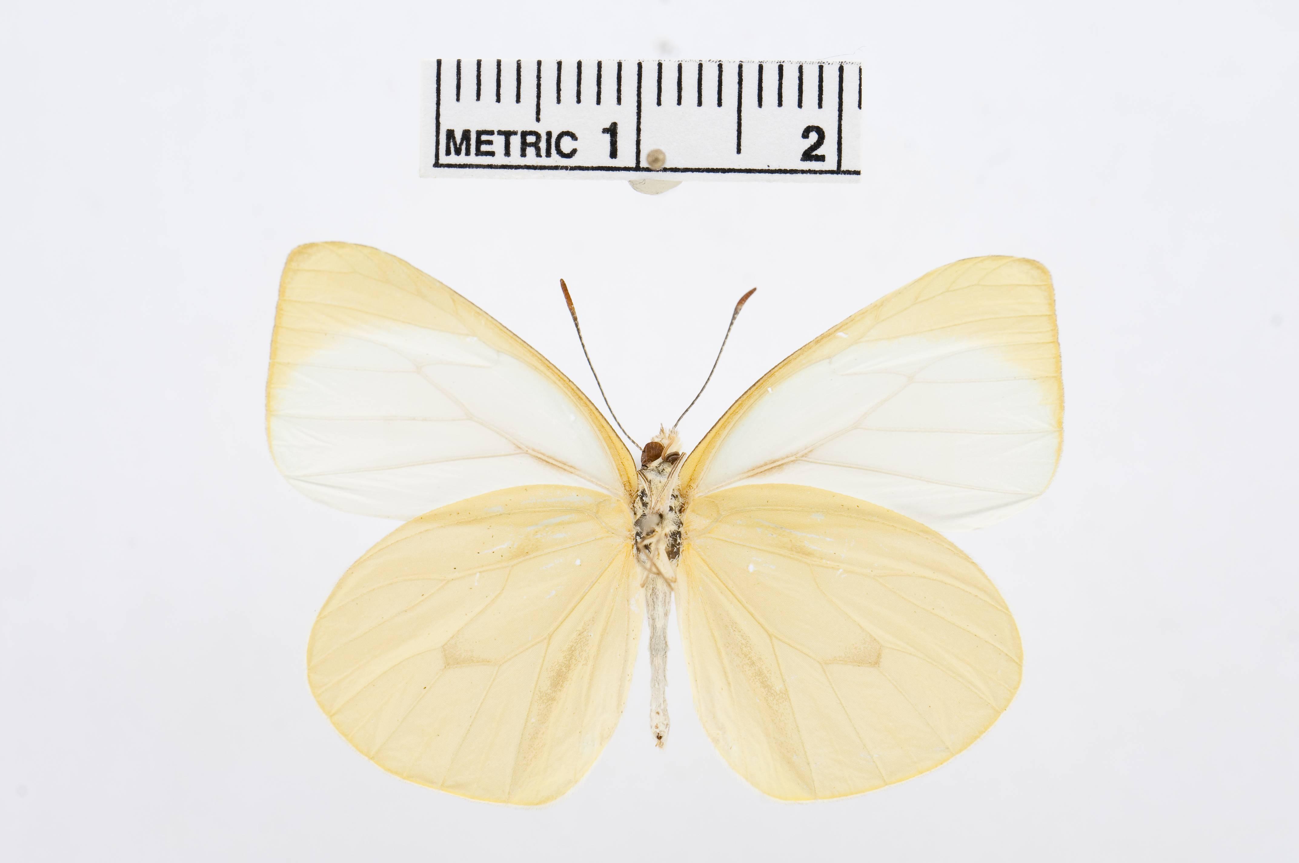 Image of <i>Moschoneura pinthous</i> (Linnaeus 1758)