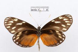 Image of <i>Patia cordillera</i> (Felder & Felder 1862)