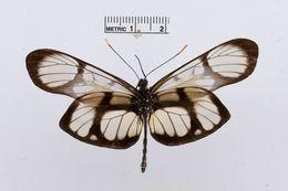 Image of <i>Patia orise</i> (Boisduval 1836)