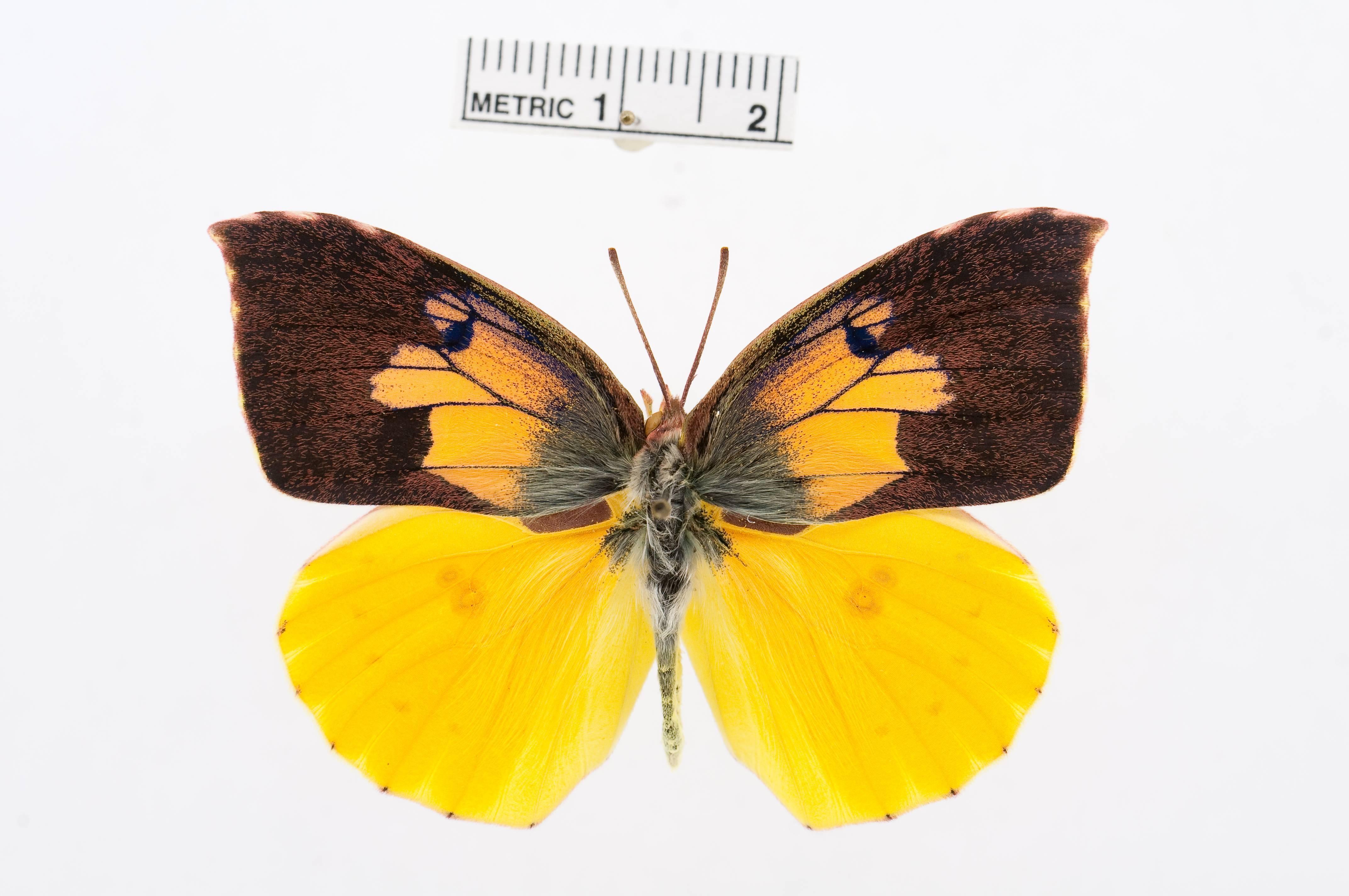 Image of <i>Pseudopontia paradoxa</i> (Felder & Felder 1869)