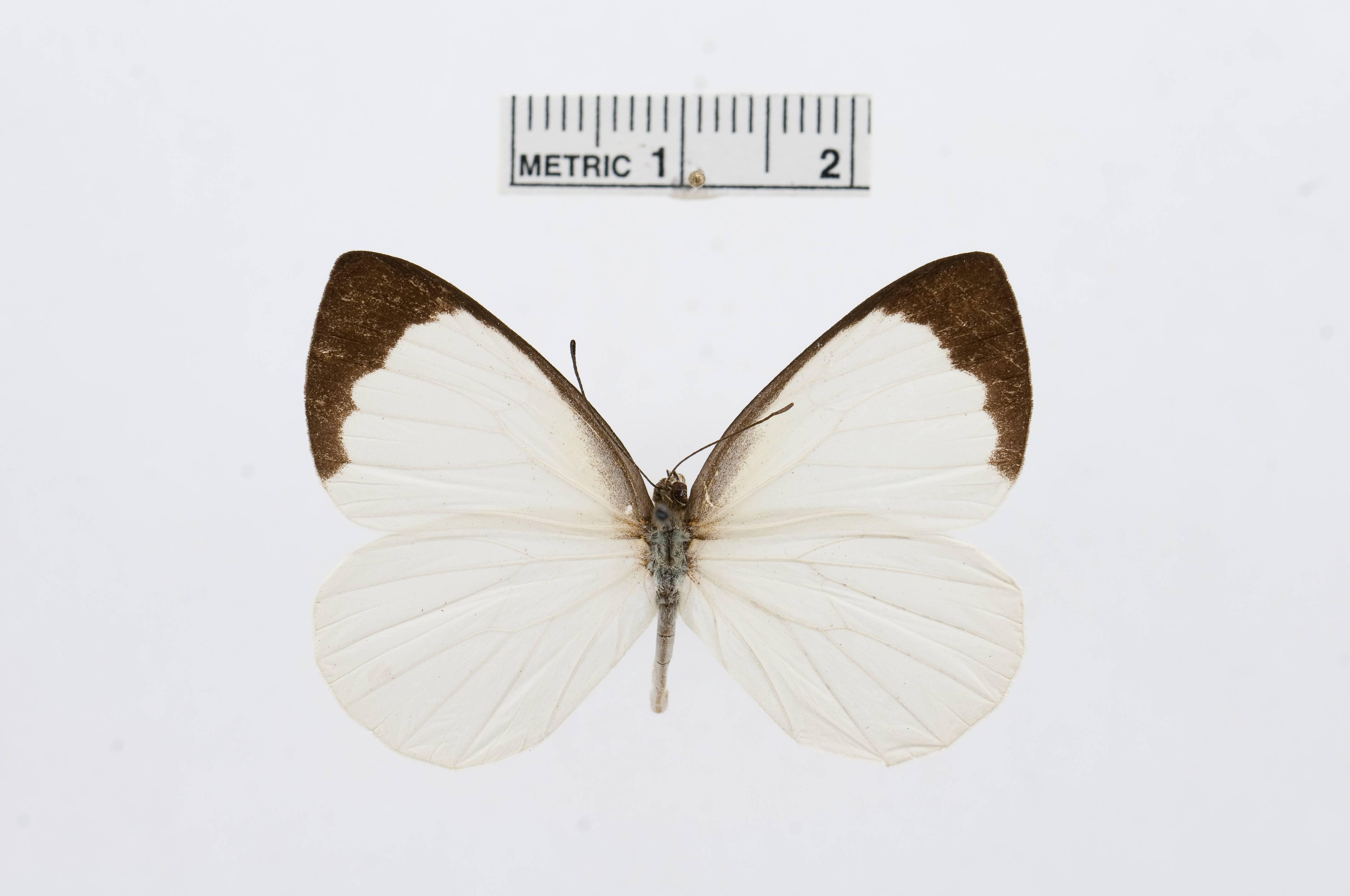 Image of <i>Elodina hypatia</i> Felder & Felder 1865