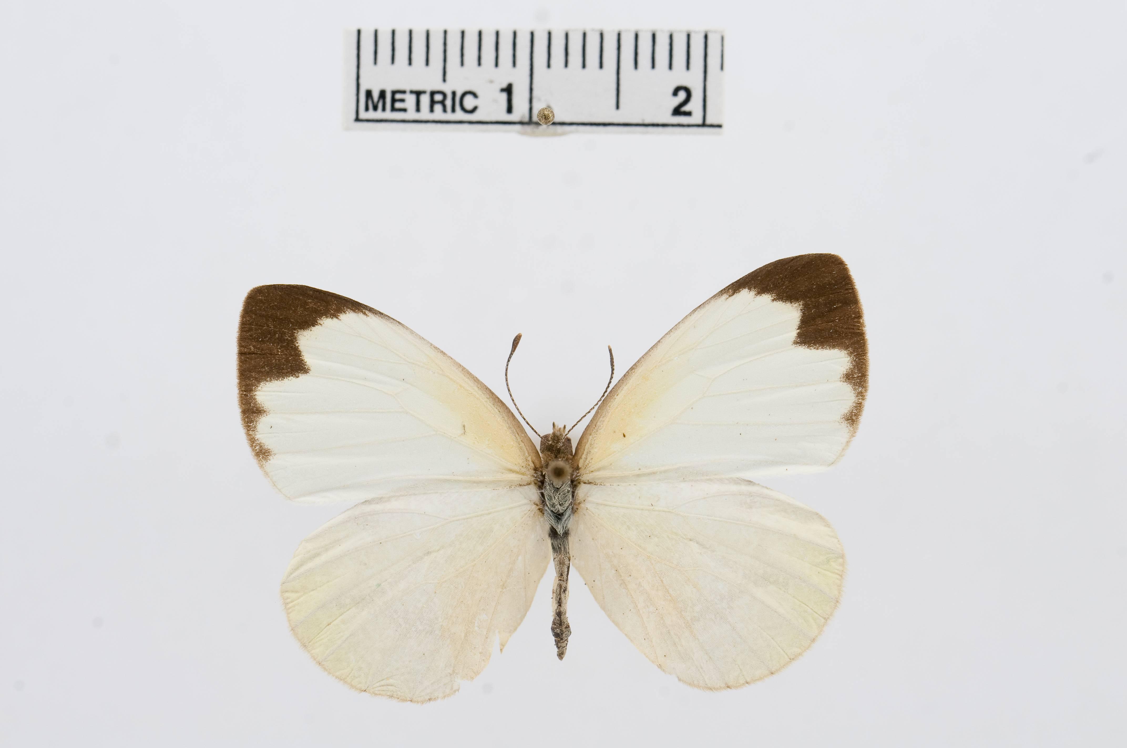 Image of <i>Elodina parthia</i> (Hewitson 1853)