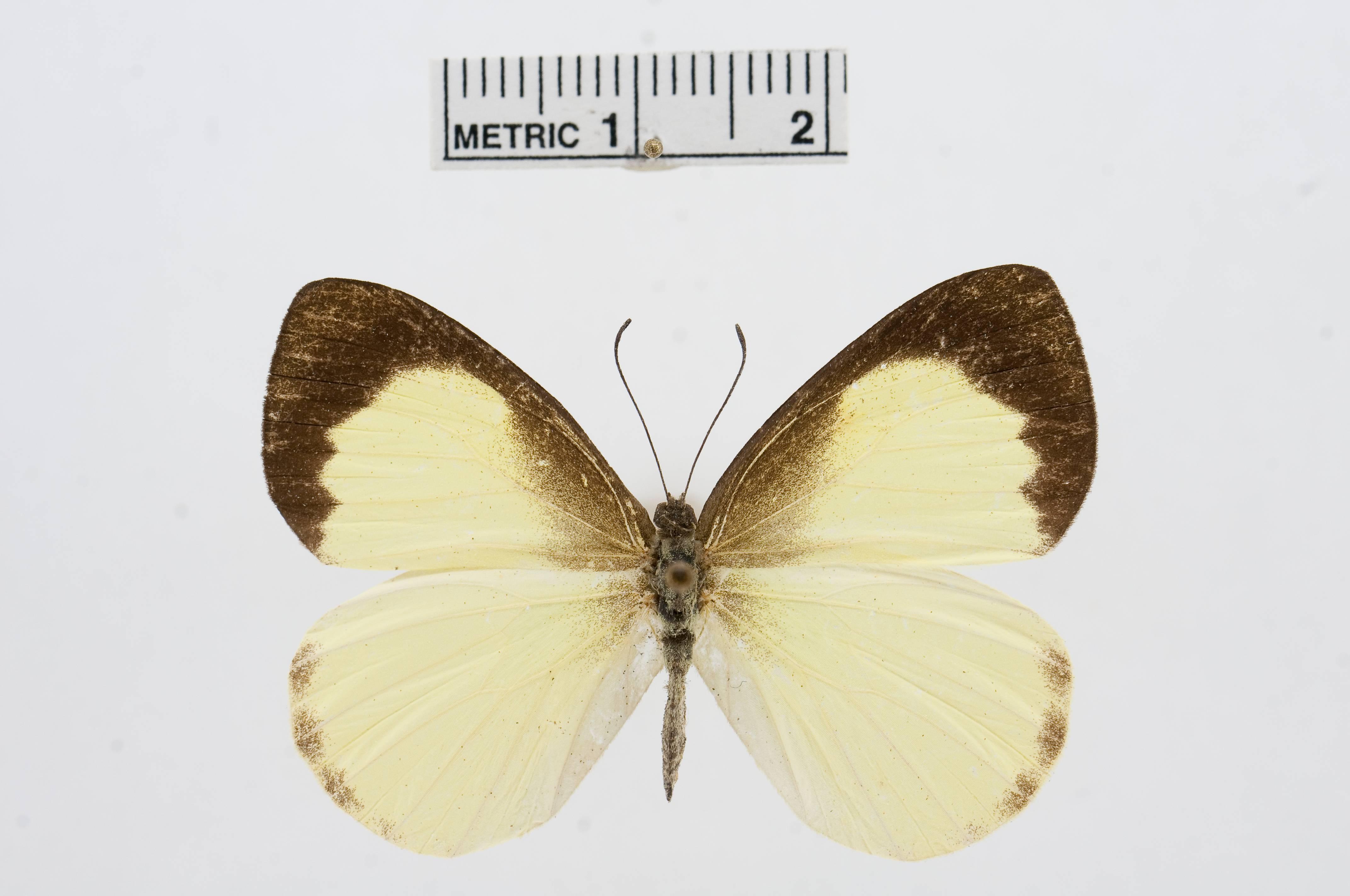 Image of <i>Elodina primularis</i> Butler 1882