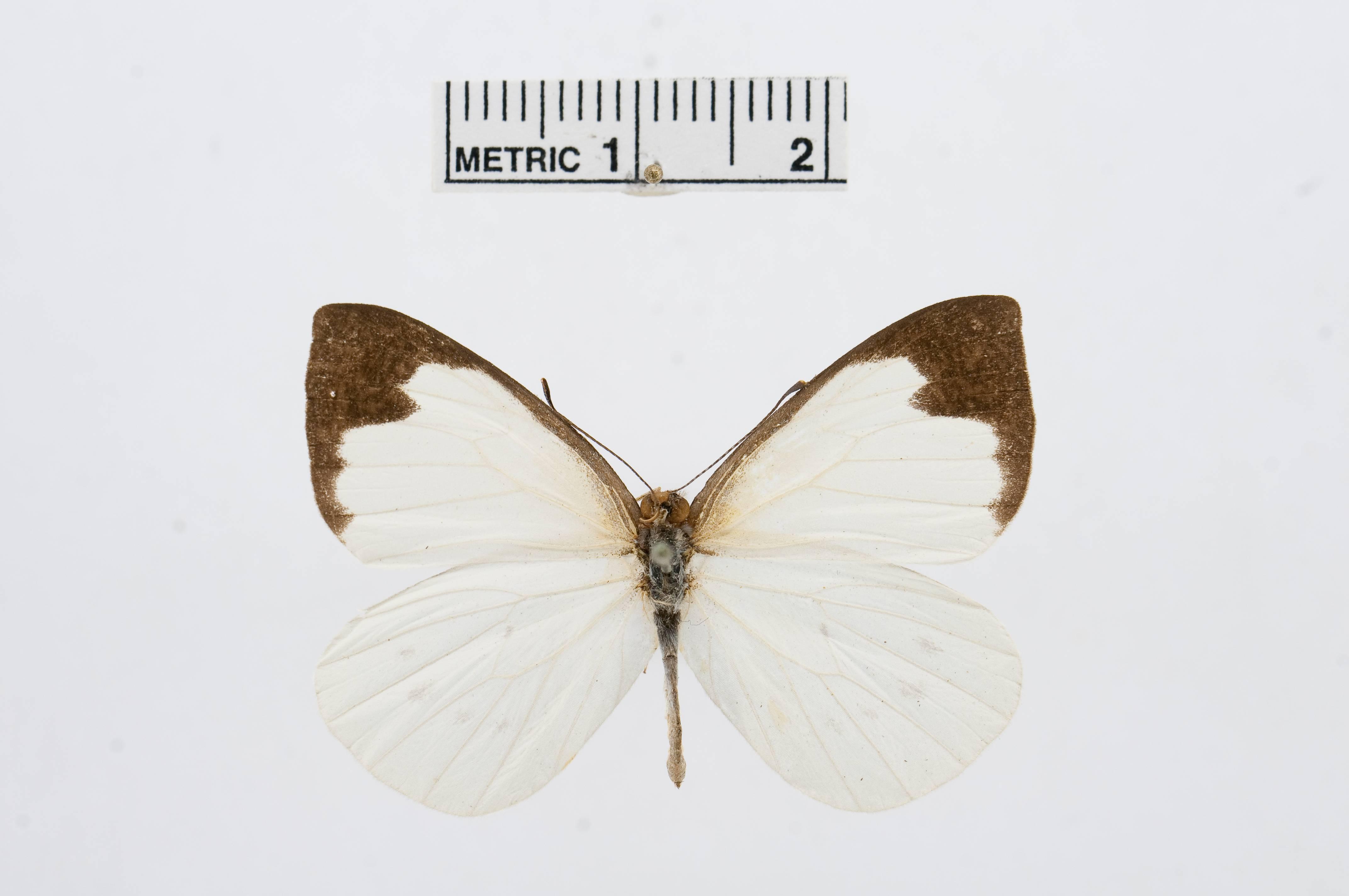 Image of <i>Elodina angulipennis</i> (Lucas 1852)