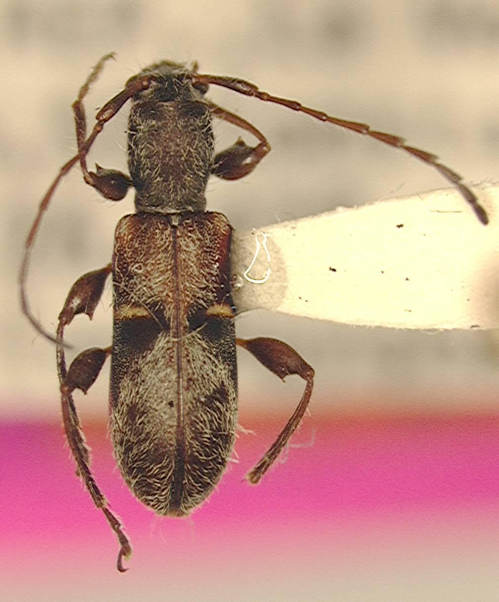 Image of <i>Plectromerus dominicanus</i> (Micheli 1983)