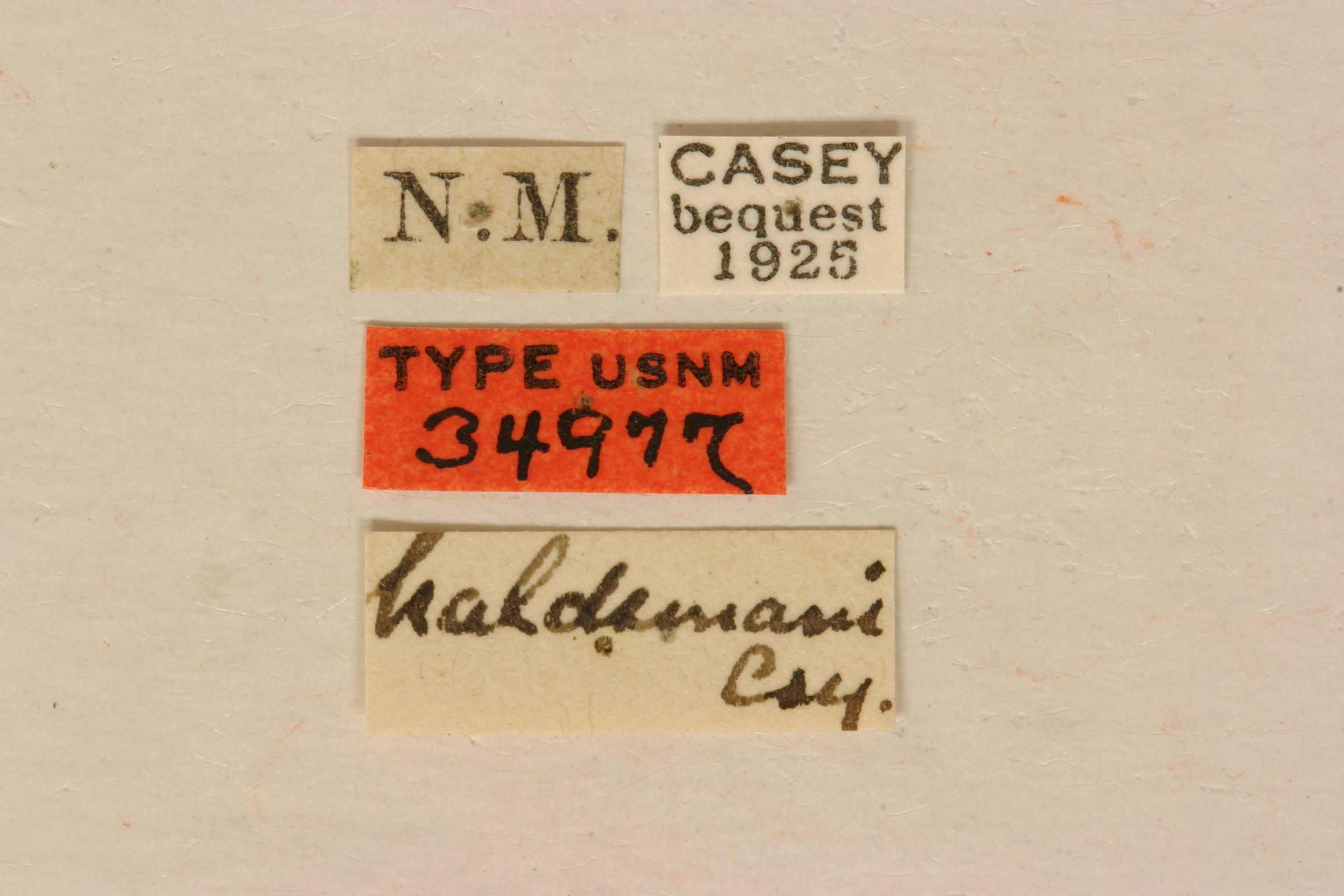 Image of <i>Anastrangalia haldemani</i> (Casey 1891)