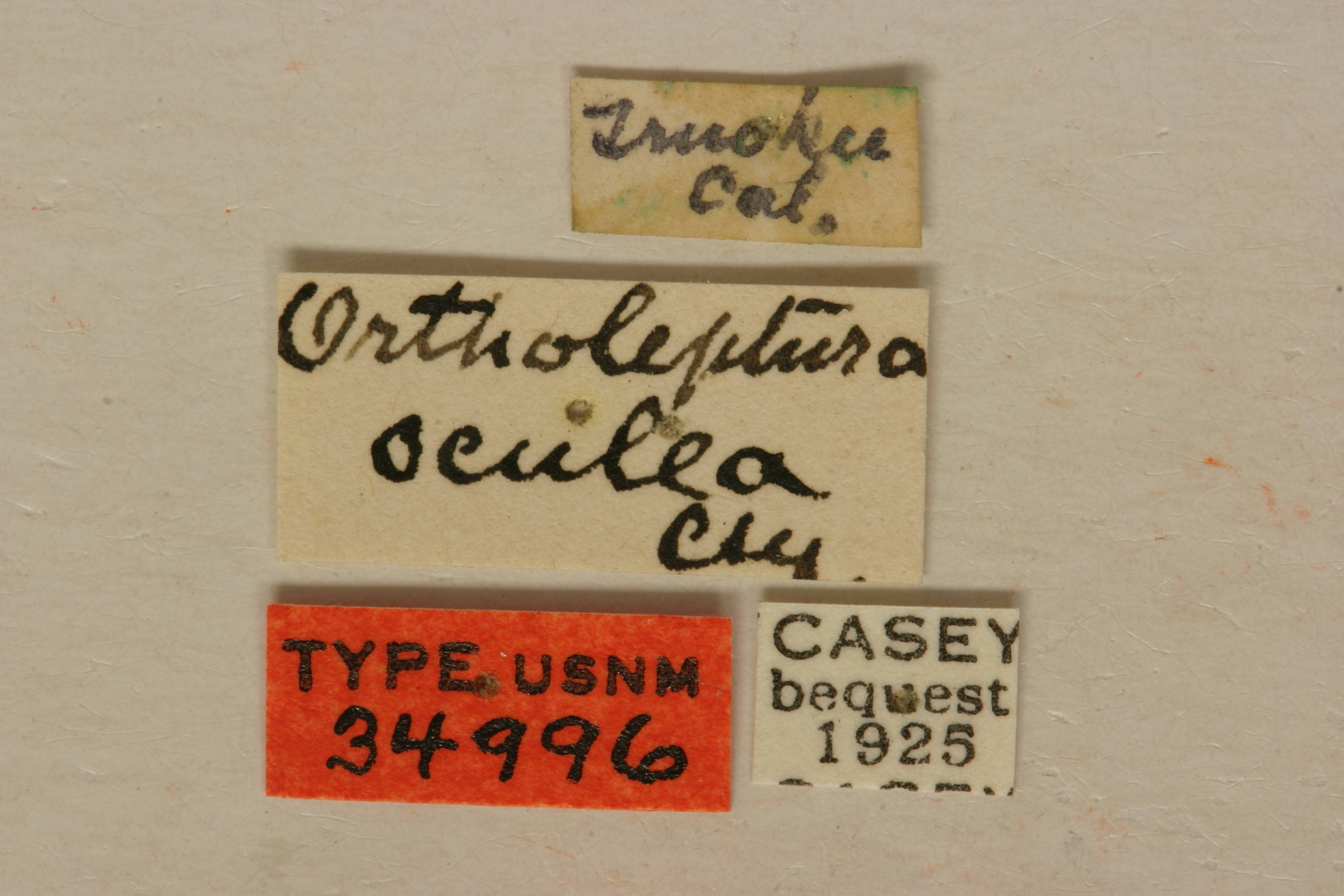 Image of <i>Ortholeptura valida</i> (Le Conte 1857)