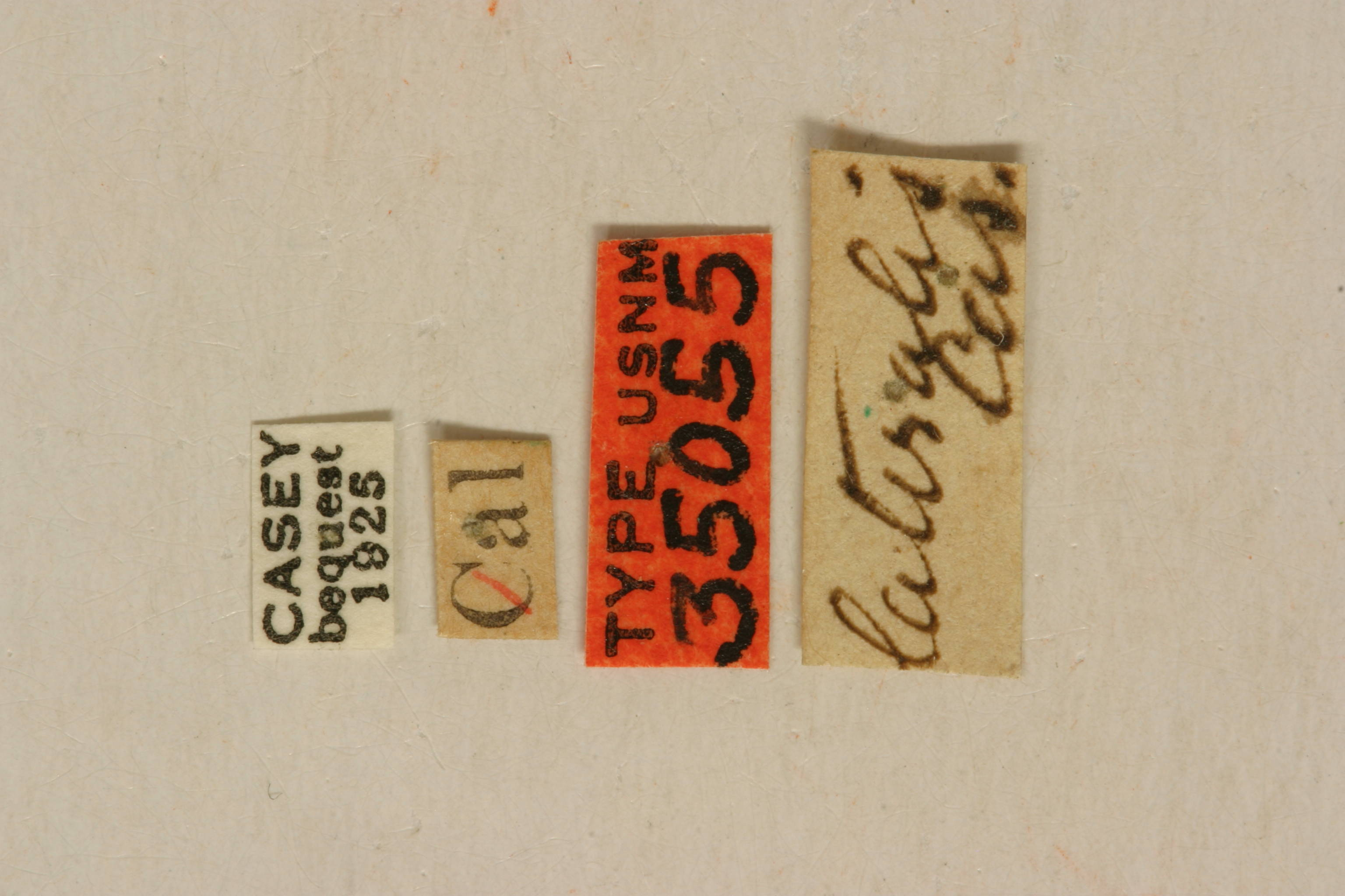 Image of <i>Stenocorus nubifer</i> (Le Conte 1859)