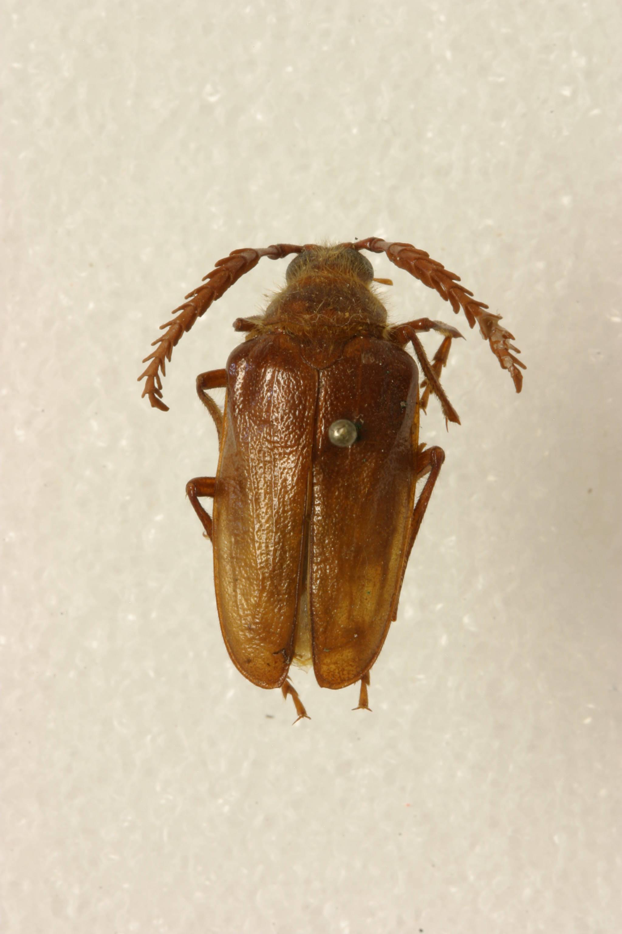Image of <i>Prionus</i> (<i>Homaesthesis</i>) <i>emarginatus</i> Say 1824