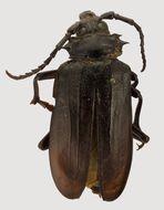 Image of <i>Prionus heroicus</i> Semenov 1908