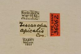 Image of <i>Tessaropa tenuipes</i> (Haldeman 1848)