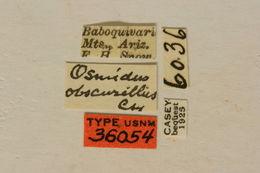Image of <i>Osmidus guttatus</i> Le Conte 1873