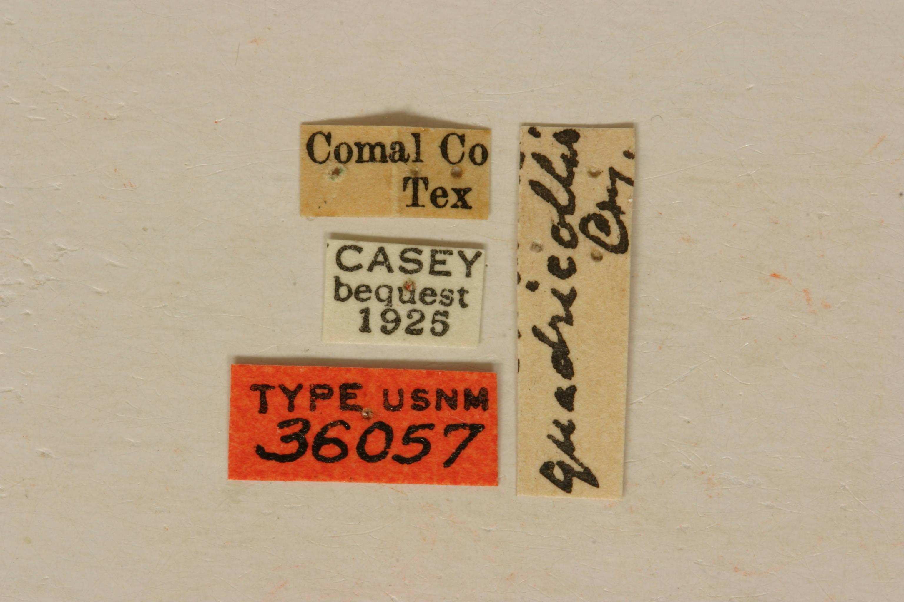 Image of <i>Eburia ovicollis</i> Le Conte 1873