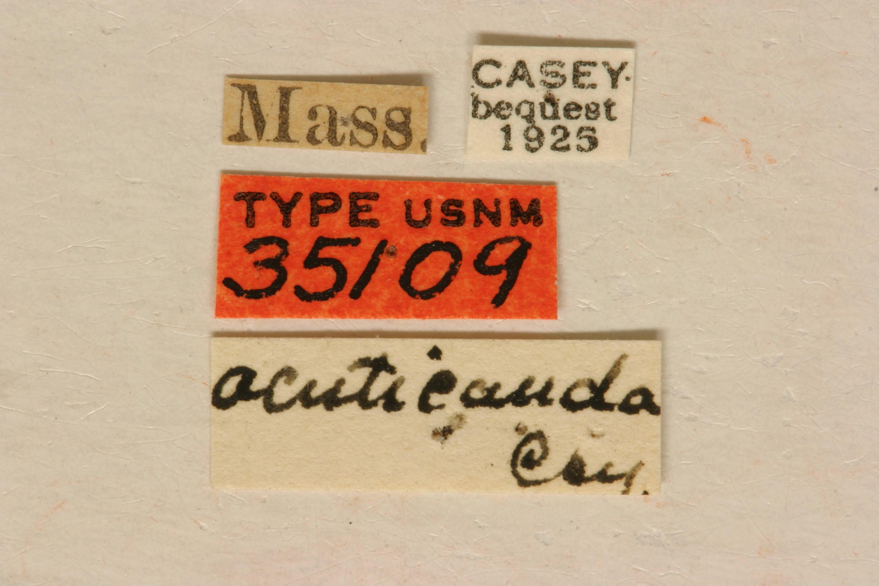 Image of <i>Typocerus acuticauda</i> Casey 1913
