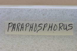 Image of <i>Paraphosphorus hololeucus</i> Linell 1896
