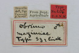 Image of <i>Obrium mozinnae</i> Linell 1897