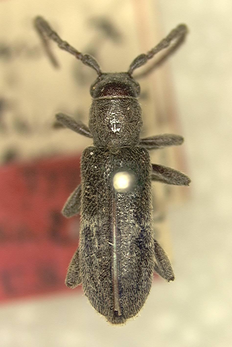 Image of <i>Anelaphus albofasciatus</i> (Linell 1897)