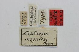Image of <i>Lepturges megalops</i> Hamilton 1896