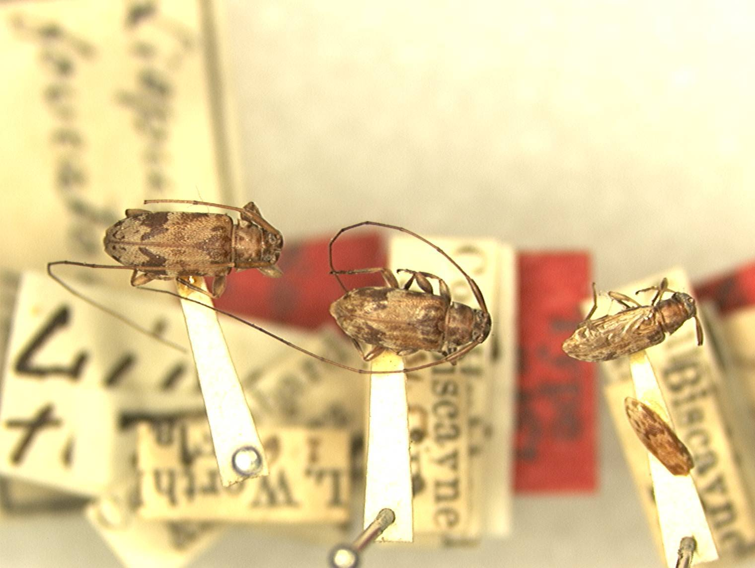 Image of <i>Urgleptes foveatocollis</i> (Hamilton 1896)
