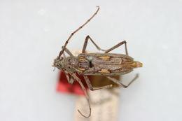 Image of <i>Eburia lanigera</i> Linell 1899