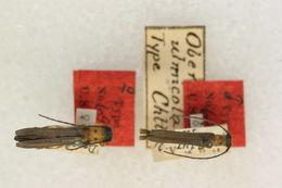 Image of <i>Oberea ulmicola</i> Chittenden 1904