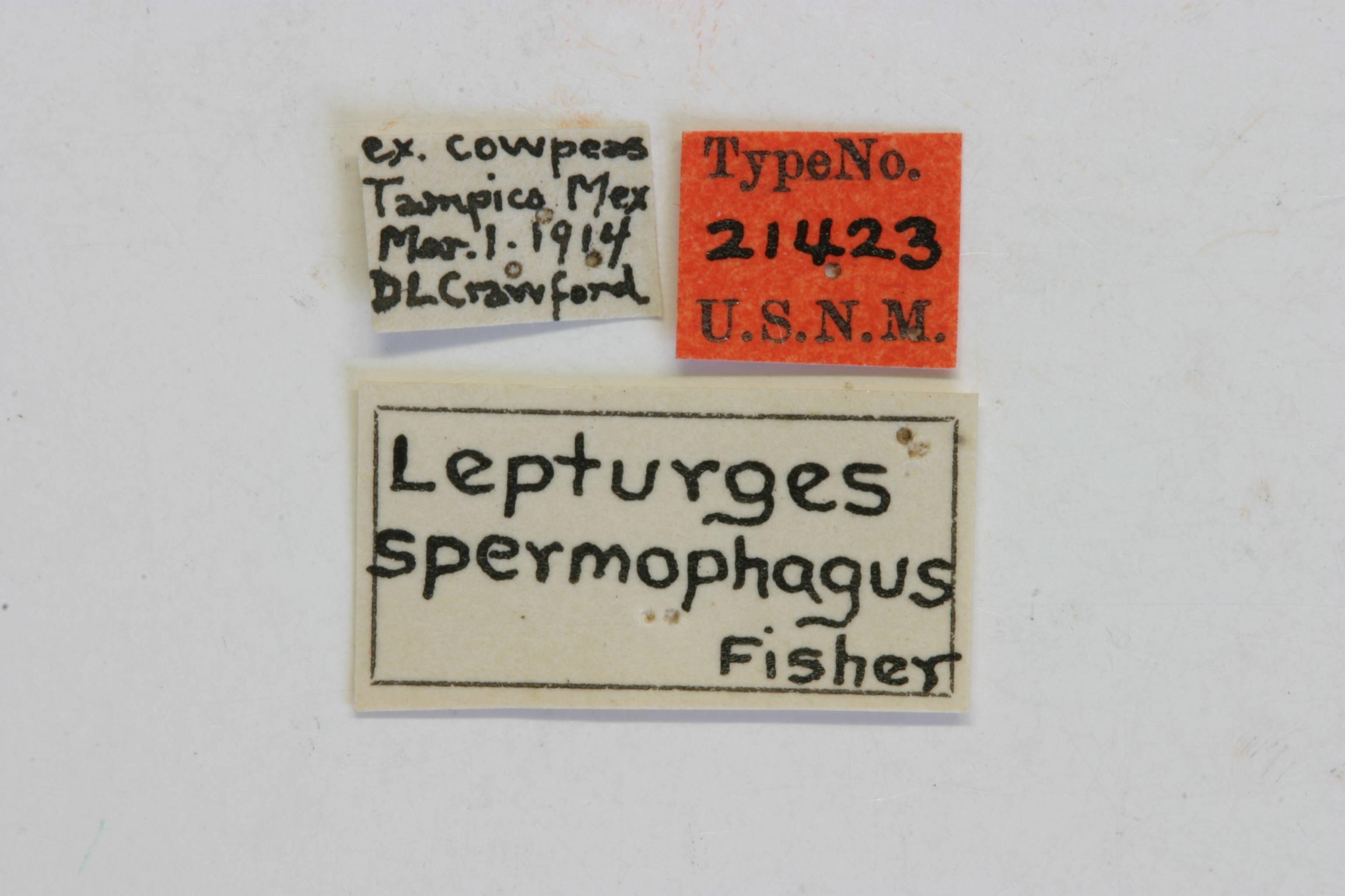 Image of <i>Atrypanius spermophagus</i> (Fisher 1918)