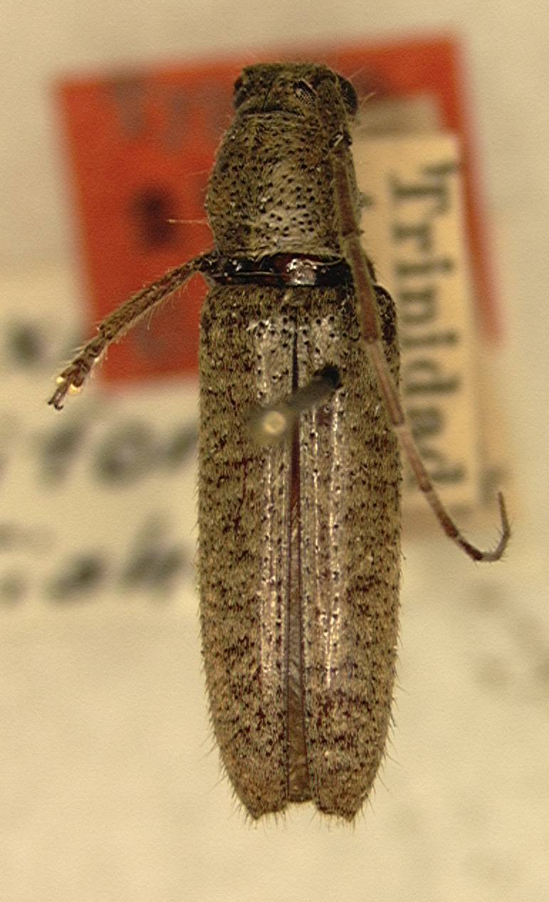 Image of <i>Ataxia uniformis</i> Fisher 1926