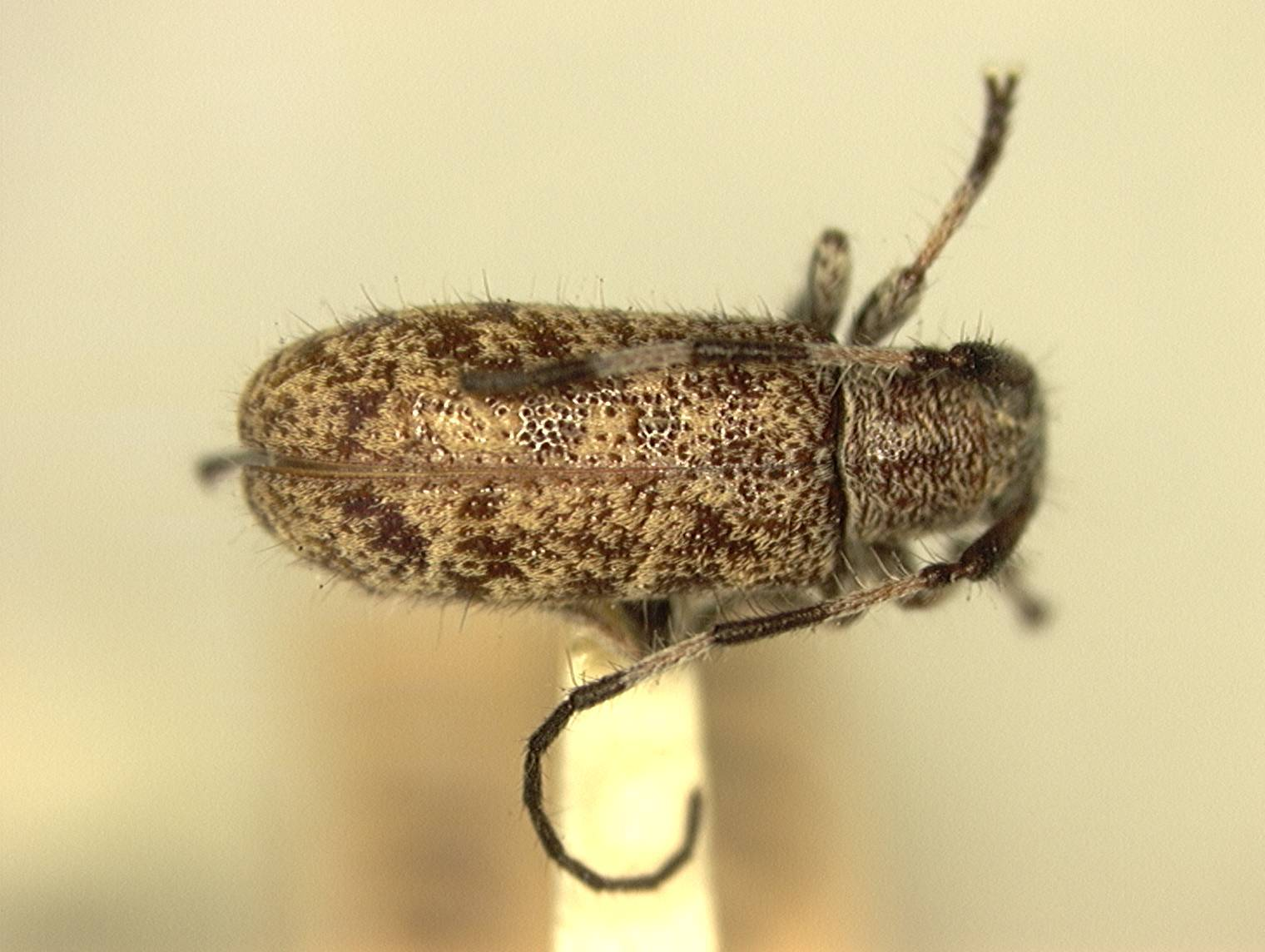 Image of <i>Eupogonius annulicornis</i> Fisher 1926