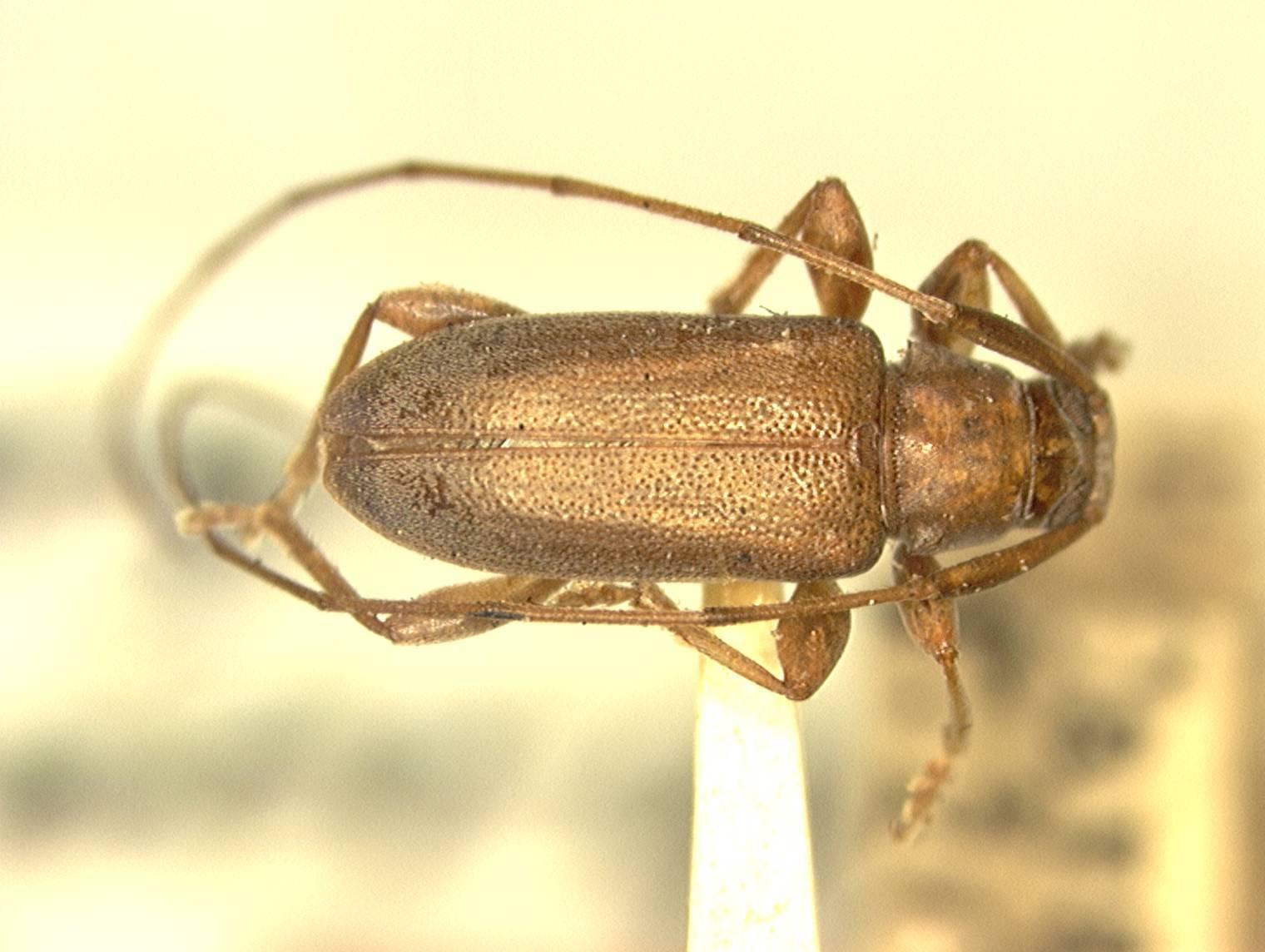 Image of <i>Urgleptes chamaeropsis</i> (Fisher 1926)