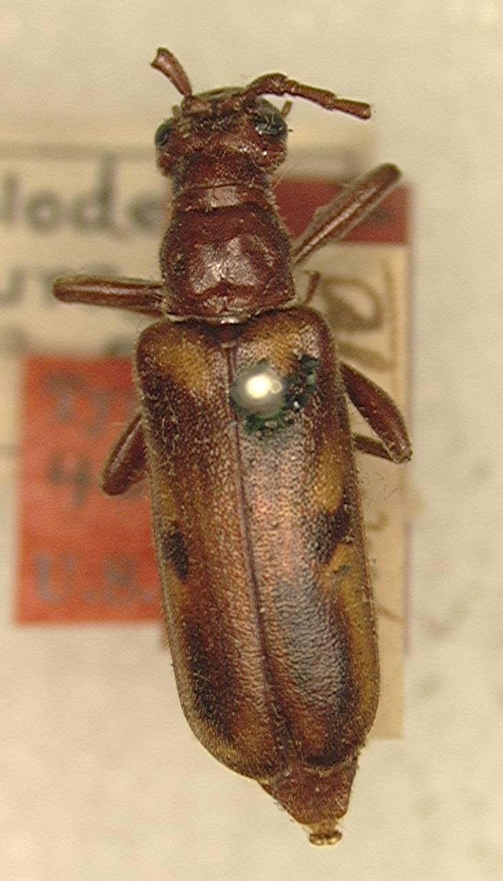 Image of <i>Ortholeptura obscura</i> (Swaine & Hopping 1928)