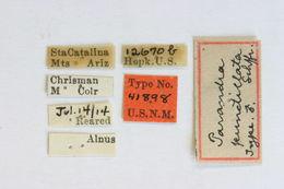 Image of <i>Neandra marginicollis</i> (Schaeffer 1929)