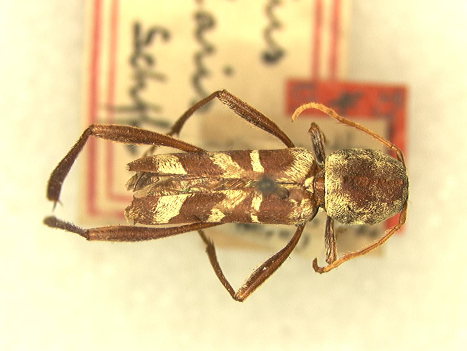 Image of <i>Neoclytus peninsularis</i> Schaeffer 1905