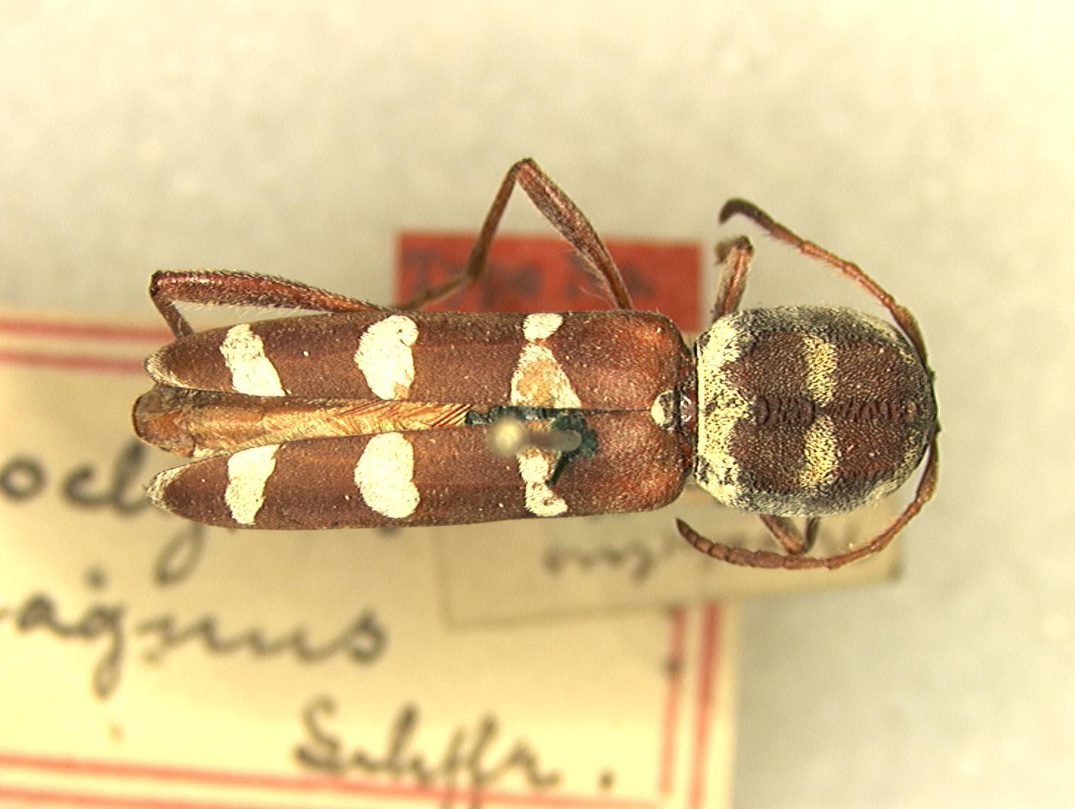 Image of <i>Neoclytus magnus</i> Schaeffer 1904