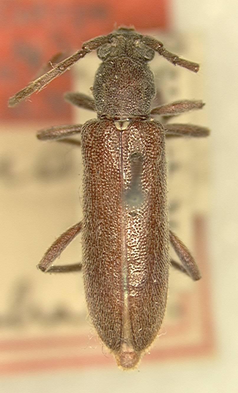 Image of <i>Anelaphus simile</i> (Schaeffer 1908)