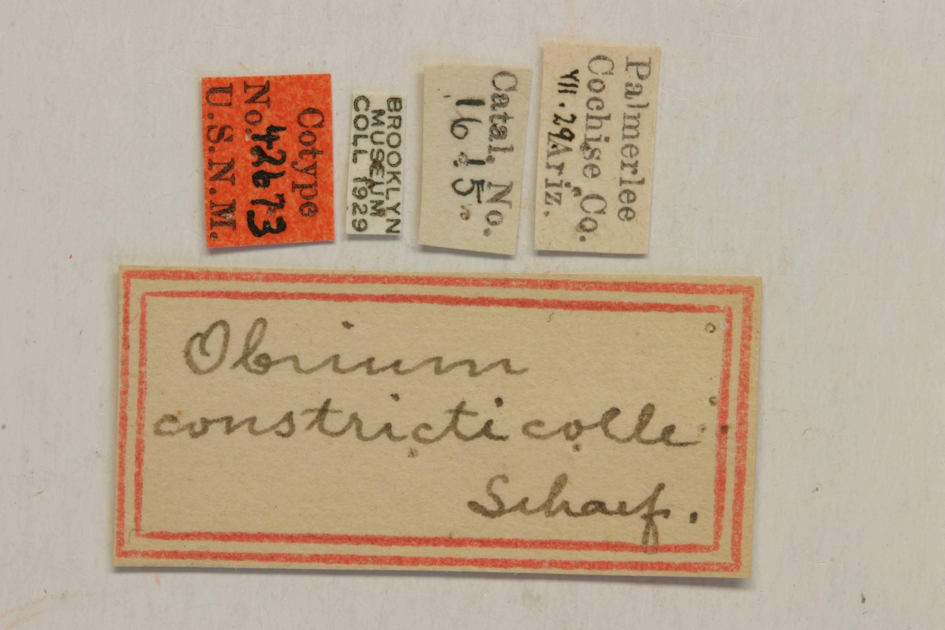 Image of <i>Obrium constricticolle</i> Schaeffer 1908
