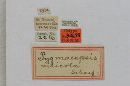 Image of <i>Pygmaeopsis viticola</i> Schaeffer 1908