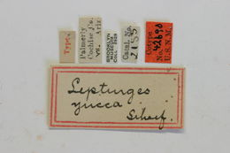 Image of <i>Lepturges yucca</i> Schaeffer 1905