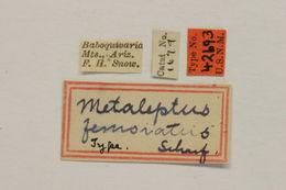 Image of <i>Rhodoleptus femoratus</i> (Schaeffer 1909)