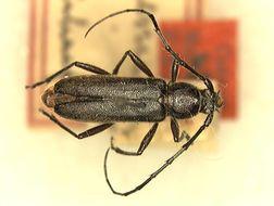 Image of <i>Stenosphenus beyeri</i> Schaeffer 1905