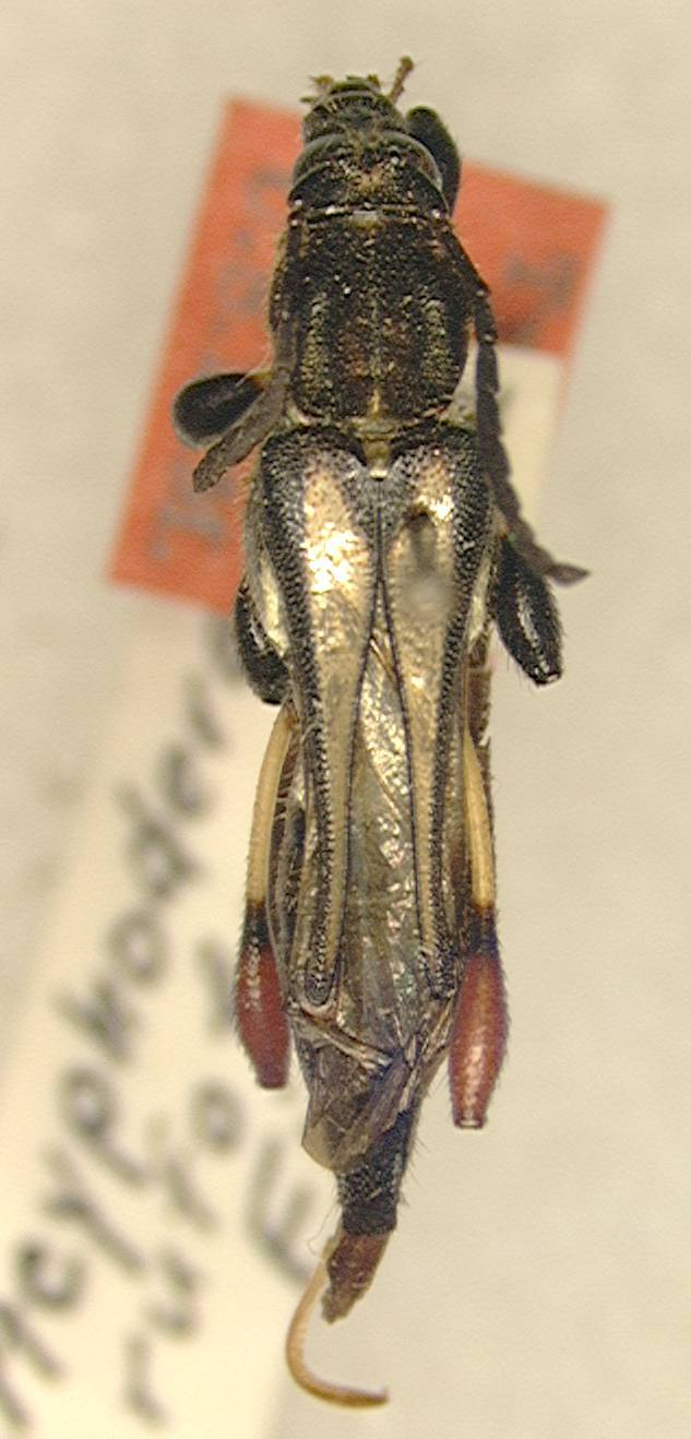 Image of <i>Acyphoderes hirtipes</i> (Klug 1825)