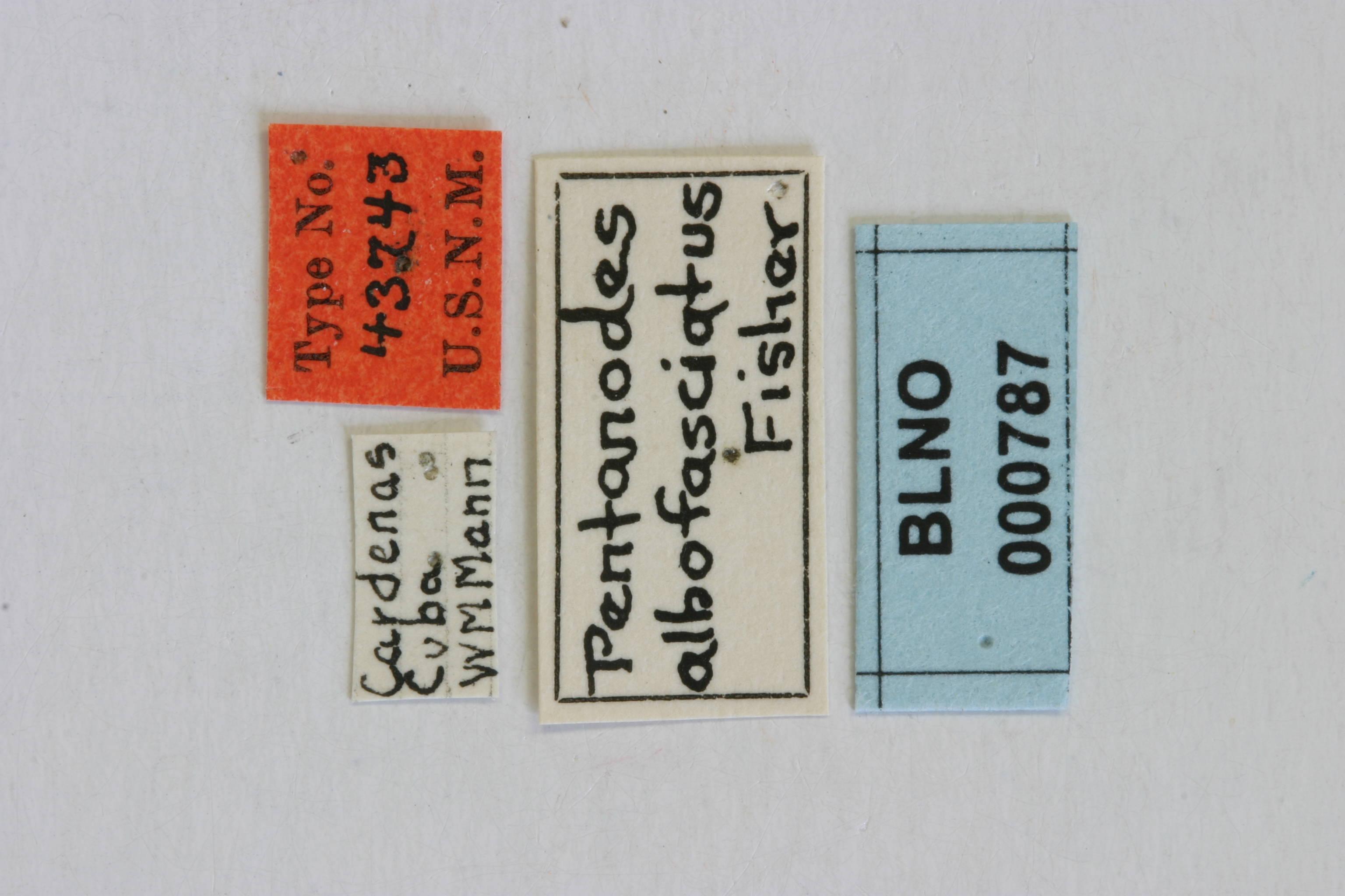 Image of <i>Pentanodes albofasciatus</i> Fisher 1932