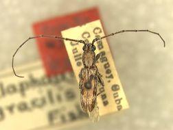 Image of <i>Xeranoplium gracilis</i> (Fisher 1932)