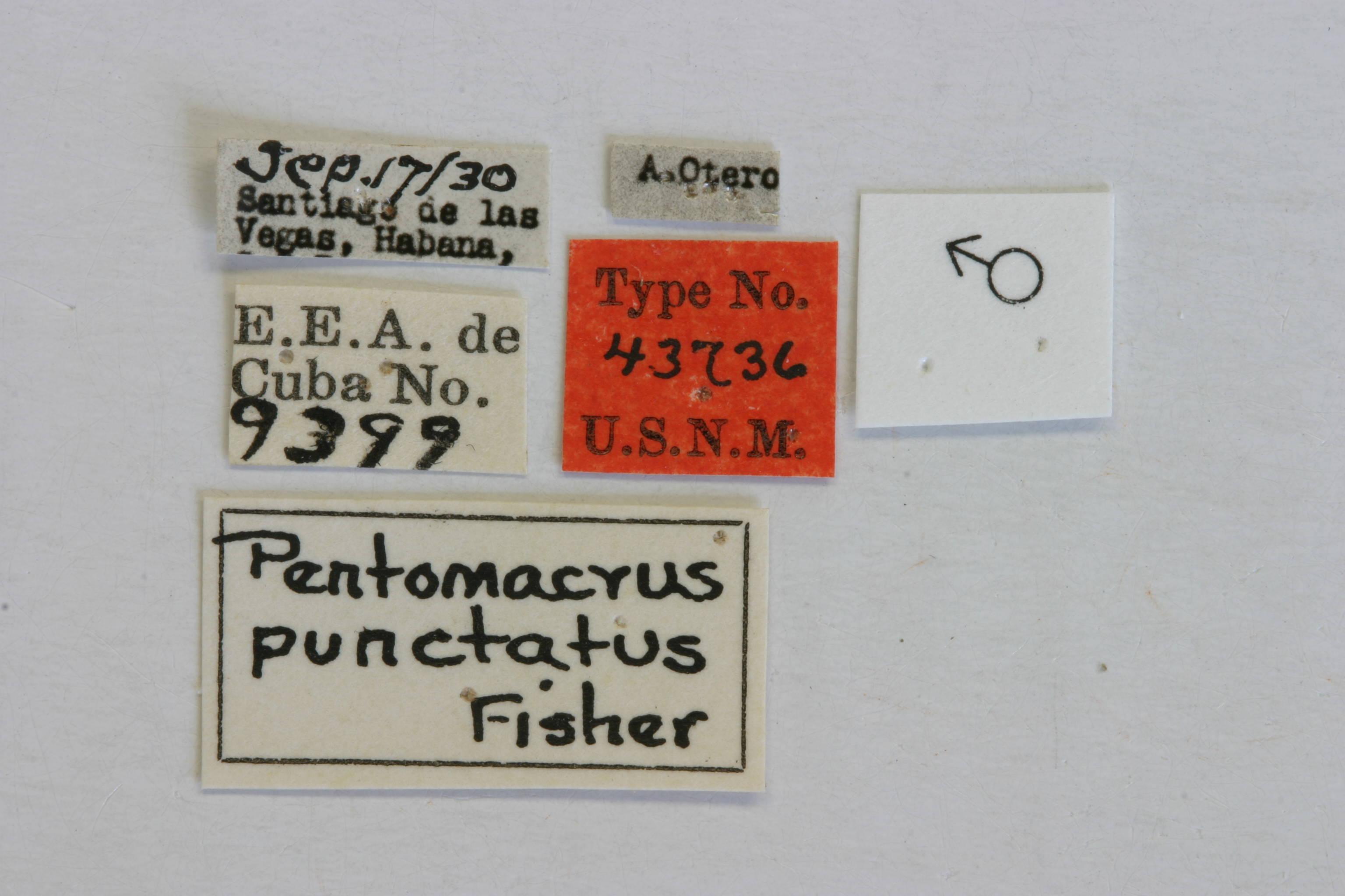 Image of <i>Curius punctatus</i> (Fisher 1932)