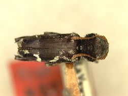 Image of <i>Neoclytus pallidicornis</i> Fisher 1932