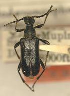 Image of <i>Anoploderomorpha mupinensis</i> Gressitt